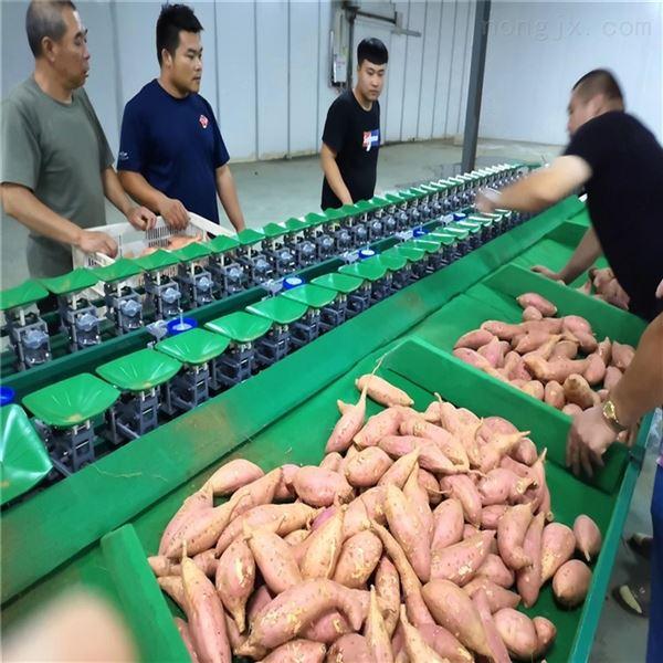 红薯分拣机  河北保定果蔬产后处理设备