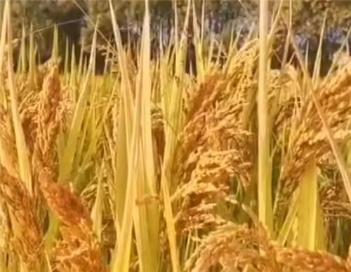 每畝補貼89元!山西省推進優質雜糧有機旱作生產全程機械化